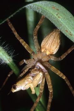 Spider & frog - Arachnid eating a frog in Tanzania (by Arddu)