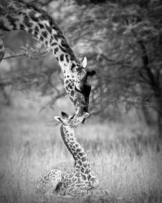 50 OFF SALE Baby Giraffe and Mom Black and White by WildBabies, $12.50