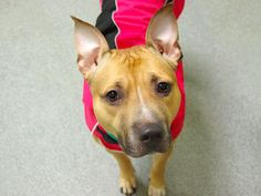 TO BE DESTROYED THUR, 2/13/14-Manhattan Center - WINTER - A0991268  FEMALE, TAN / WHITE, PIT BULL MIX, 2 yrs. THIS POOR LITTLE GIRL LOOKS VERY SERIOUS AND VERY LOST THERE.