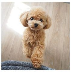 Cute Little Puppies, Cute Dogs And Puppies, Toy Poodle Puppies, Toy Poodles, Poodle Teddy Bear Cut, Toy Poodle Apricot, Poodle Grooming, Dog Grooming, Poodle Haircut Styles