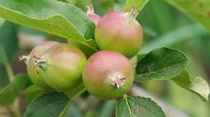Apple trees are the most popular fruit trees grown and they are also one of the easiest. Thanks to dwarf rootstocks there is an apple tree for every size of garden, even containers and once established, apple trees are very low maintenance. Different apple trees also ripen at different times, which means that if you choose a number of trees carefully, you should be able to harvest your own delicious apples over quite a long time.