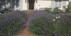 Rachel Ashwell's front garden lavender paths.