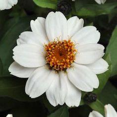 Zinnia Zahara White flower.