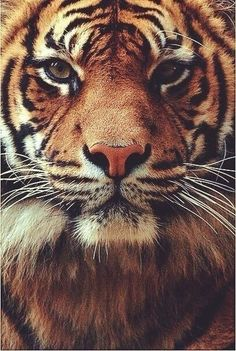 really love tigers