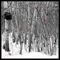 Love how these 7 cardinals pop against the birch trees and snow