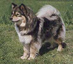 Finnish Lapphund. It's like... a fuzzier Husky. O.O                                                                                                                                                                                 More