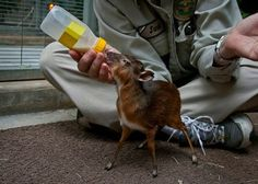 Philippine Mouse Deer, World's smallest hoofed mammal ~ It hails from the Balabac Island, south of Palawan in the Philippines and stands only 40 centimeters tall.
