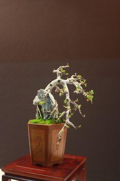 fig carica bonsai | Ficus Carica - Higuera - José Gómez