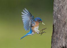Eastern bluebird in flight - photo#23