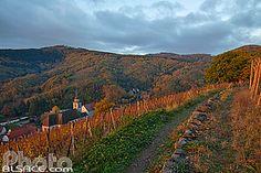 Dans le vignoble d'Andlau en automne et vue sur l'église romane Saints-Pierre et Paul, Bas-Rhin (67)