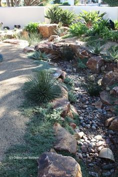 used several sizes of rock spaced unevenly, to give the creek bed a natural look. Note, too, how rounded rock (which looks like it has been tumbled by water) lines the meandering course. Along the banks grow dwarf agaves, aloes and the tough-as-nails groundcover, dymondia.