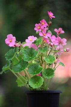 Image result for Begonia Socotrana