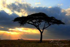 Acacia tree, Serengeti, Tanzania, Africa