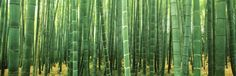Japan (Bamboo Forest) Photo at AllPosters.com