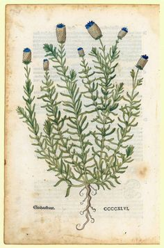 Leaf number 19, woodcut: Stichastraut. Leonhart Fuchs (1543).