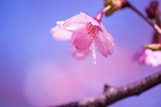 Sakura.  Spring has come. I'm a spring baby!!