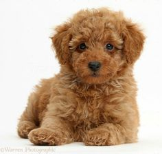 a7b05782898 Cute red Toy Poodle puppy Brown Toy Poodle