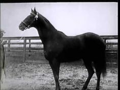 Man o War movie Trailer! The Belmont Stakes, American Pharoah, Horse Videos, Man Of War, Thoroughbred Horse, Racehorse, Horse Photos, Horse Racing, Beautiful Horses