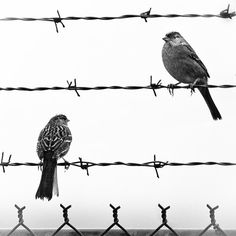 "Love the Grittyness and perfect ""framing"" of this Photo with the 2 Birds, the Barbed Wire and the Fence.....Beautiful!! ""Birds on a wire"" by TerraVision"