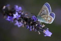 Butterfly on lavender, Buckfast Abbey,Devon by Starman59 on Flickr.  Photo by Jeff Schwingen