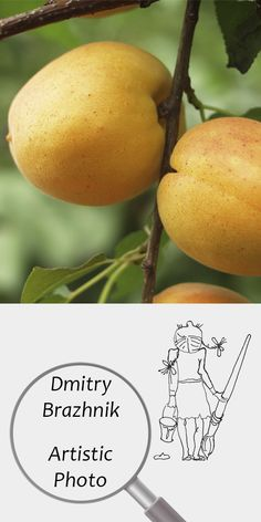 Dmitry Brazhnik   Artistic Photo   Printable   Design   Interior   Instant Download   Fruits Photography (fragment)   Full Color Apricots Ripe Orange Harvest Yellow Summer Garden Leaves Digital Poster Print Photo Digital Image   №D-4005