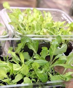 Grow Quick Crop of Lettuce Indoors! I'm trying this but not in those containers. Indoor Vegetable Gardening, Small Space Gardening, Container Gardening, Organic Gardening, Gardening Tips, Growing Lettuce, Growing Veggies, Edible Garden, Indoor Plants