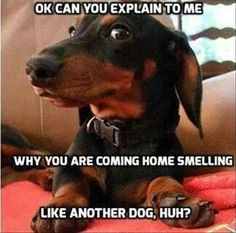humor, Details about Funny Dachshund Refrigerator magnet Dachshund Funny, Dachshund Breed, Dachshund Love, Funny Dogs, Daschund, Funny Dog Humor, Funny Memes, Dapple Dachshund, Funny Animal Pictures