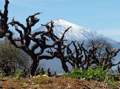 La implantación y el desarrollo de la vid en Tenerife http://www.vinetur.com/blogs/937-la-implantacion-y-el-desarrollo-de-la-vid-en-tenerife.html