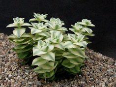 Crassula perforata variegata. 1-2 ft x 2-3ft. Somewhat shrubby, spreading.