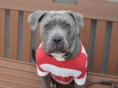 Brooklyn Center LADY BUG – A1070806 FEMALE, GRAY / WHITE, AM PIT BULL TER MIX, 2 yrs, 5 mos OWNER SUR – EVALUATE, NO HOLD Reason MOVE2PRIVA Intake condition UNSPECIFIE Intake Date 04/19/2016, From NY 11365, DueOut Date , I came in with Group/Litter #K16-054160