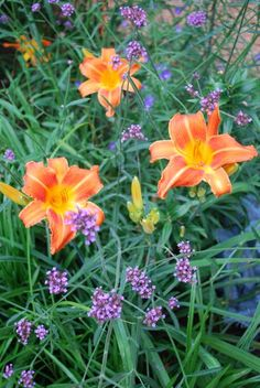 My favorite flowering perennial, Verbena bonariensis, contrasted with orange daylilies.  2 WAYS TO ENLARGE! Click directly on the photo to enlarge in a pop-up, or click HERE to see this image, larger, in a new browser window