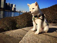 japankuru kuruki #kuruki ##JAPANKURU #japankuruki #tokyo #100tokyo #cooljapan #shibainu #shiba #puppy #puppylove #dog