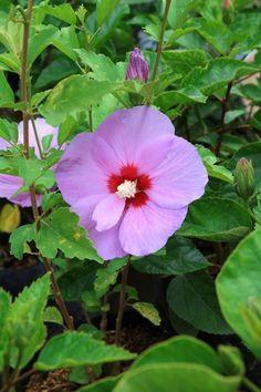 Hibiscus Rosa Sinensis, Rare Plants, Fruit Trees, Garden Design, Flowers, Motorcycles, Cars, Garden, Hibiscus