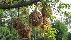 Village weavers weave together grass and strips of leaves to create their nests.