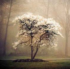 """Nature Photography, Landscape Photography, Soft White Blossoms, Mist, Tree,  Etsy Wall Art, 8x8, """"Blossoms In Mist"""" on Etsy, $30.00"""