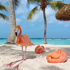 There's a Private Beach in Aruba Where You Can Literally Hang Out With Flamingos - Animals Aruba Flamingos, Flamingo Beach Aruba, Pink Flamingos, Flamingo Wallpaper, Flamingo Art, Our National Bird, Beach Please, Pink Bird, Beautiful Birds