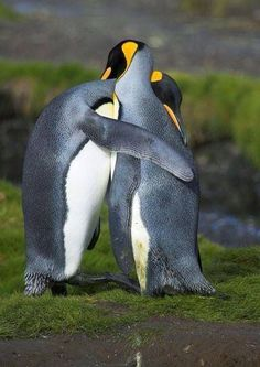 King penguins hugging in courtship in South Georgia