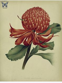 New South Wales waratah. Large shrub in the Proteaceae family. Endemic to New South Wales, Australia. It is the floral emblem of that state. The garden. An illustrated Vintage Botanical Prints, Botanical Drawings, Botanical Illustration, Botanical Flowers, Botanical Art, Botanical Gardens, Australian Plants, France Art, Happy Flowers