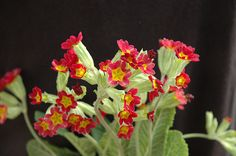 Sunset Shades Cowslip (Primula veris 'Sunset Shades') at Plant World