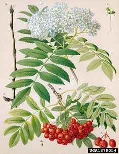 Sorbus aucuparia ⚫Rönn⚫ European mountain-ash, Sorbus aucuparia (Rosales: Rosaceae) - 1379054