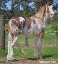 blue/red roan horse - Google Search
