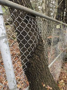 This Tree Growing Through A Fence Unique Trees, Small Trees, Reclaimed Water, Vashon Island, Tree Felling, Pink Garden, Tree Roots, Left Alone, Big Tree