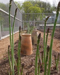 How to grow asparagus.  I'm wondering if I can put a dedicated asparagus bed (because the are perennials) in the far south-east corner of the yard.