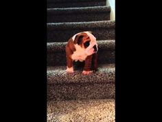 Hesitant English Bulldog Puppy Figures Out How to Get Himself Down the Stairs in One Big Step