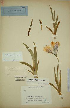 Krokus  Carl von Linnés herbarium