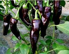 Organic Heirloom RARE 5 Chili Black Deep Purple Pepper Garden Indoor Vegetable Seeds F68