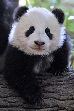 A panda, by Josef Gelernter. I so love Pandas! Panda Love, Cute Panda, Hello Panda, Happy Panda, Animals And Pets, Baby Animals, Cute Animals, Baby Pandas, Wild Animals