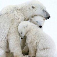 Mama polar bear and cubs