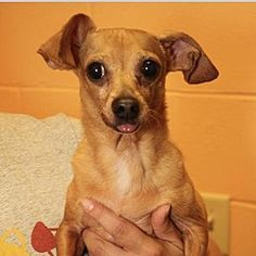 Columbia, Tennessee - Dachshund. Meet Monty, a for adoption. https://www.adoptapet.com/pet/22247570-columbia-tennessee-dachshund