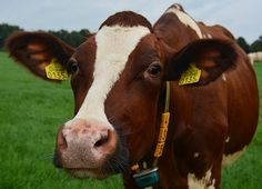 Nieuwsgierige koe, wandelen  in de  Achterhoek, Gelderland, Nederland